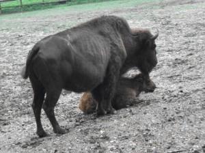 Präriebison (Tierpark Haag)