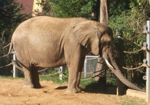 Afrikanischer Elefant (Zoo Augsburg)