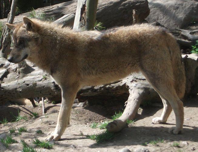Eurasischer Wolf (Alpenzoo Innsbruck)
