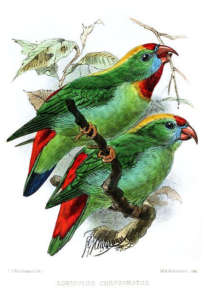 Cebu-Fledermauspapageichen (John Gerrard Keulemans)