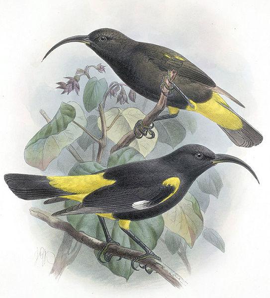 Königskleidervogel (John Gerrard Keulemans)