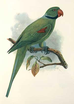 Seychellen-Sittich (John Gerrard Keulemans)