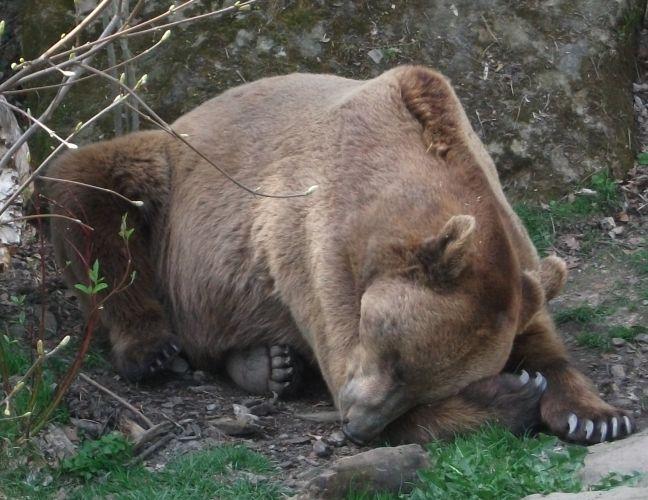 Europäischer Braunbär (Alpenzoo Innsbruck)