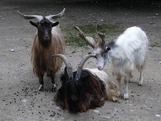 Bulgaren-, Schwarzhals- und Girgentanaziege (Tierpark Hellabrunn)