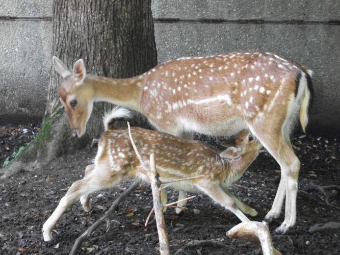 Europäischer Damhirsch (Tierpark Hellabrunn)