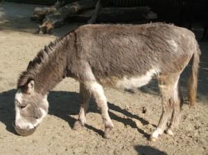 Hausesel (Zoo Augsburg)