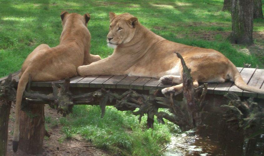 Löwe, links Weibchen, rechts kastriertes Männchen (Serengetipark Hodenhagen)