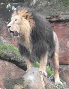 Asiatischer Löwe(Tiergarten Nürnberg)