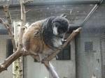Mongoz-Maki (Zoo Schmiding)