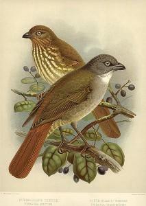 Nordinsel-Piopio und Südinsel-Piopio (John Gerrard Keulemans)