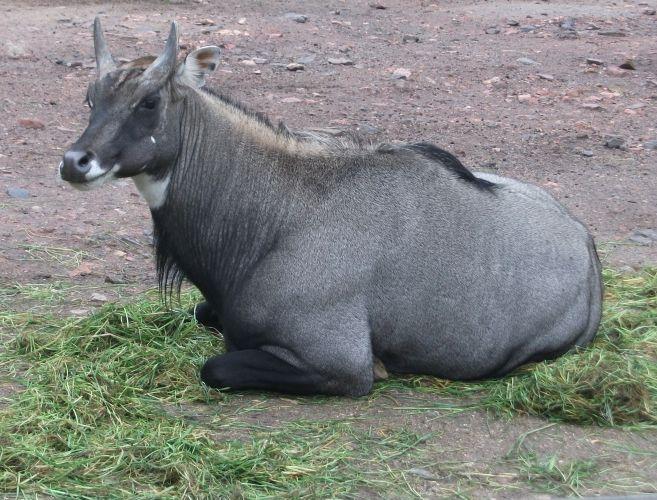 Nilgauantilope (Zoo Dortmund)