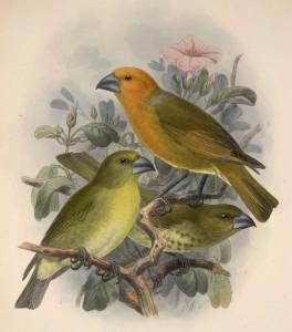 Palmers Papageischnäbler (John Gerrard Keulemans)