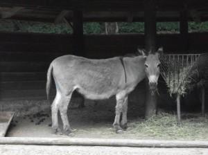 Zwergesel (Tiergarten Straubing)