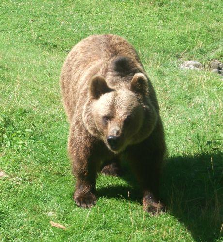 Europäischer Braunbär (Tierpark Hellabrunn)