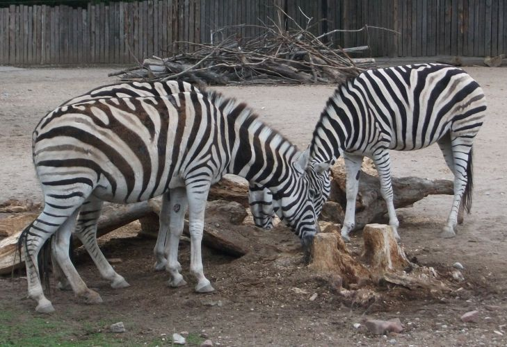 Burchell-Zebra (Zoo Heidelberg)