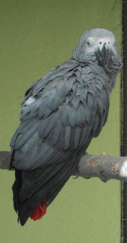 Graupapagei (Vogelpark Olching)