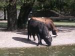 Heckrind (Tierpark Hellbrunn)