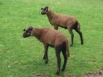 Kamerunschaf (Tierpark Hellabrunn)