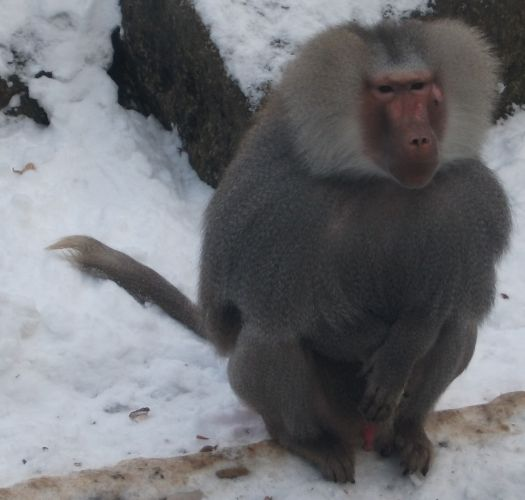 Mantelpavian (Tierpark Hellabrunn)