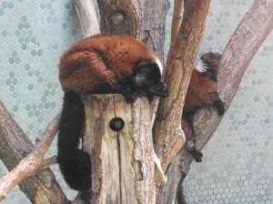 Roter Vari (Tierpark Hellabrunn)