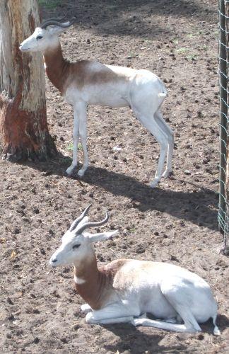 Rothalsgazelle (Serengetipark Hodenhagen)