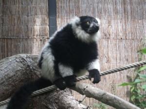 Schwarzweißer Vari (Zoo Schmiding)