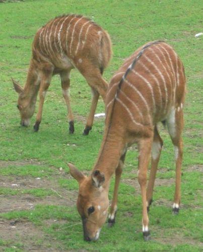 Nyala (Tierpark Hellabrunn)
