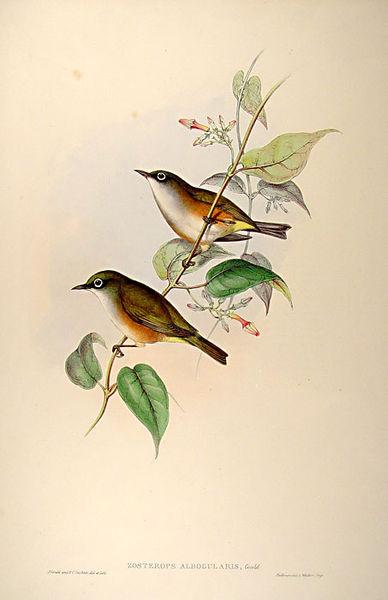 Weißbrustbrillenvogel (John Gould)