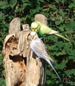 Wellensittich, Zuchtformen (Zoologischer Garten Hof)