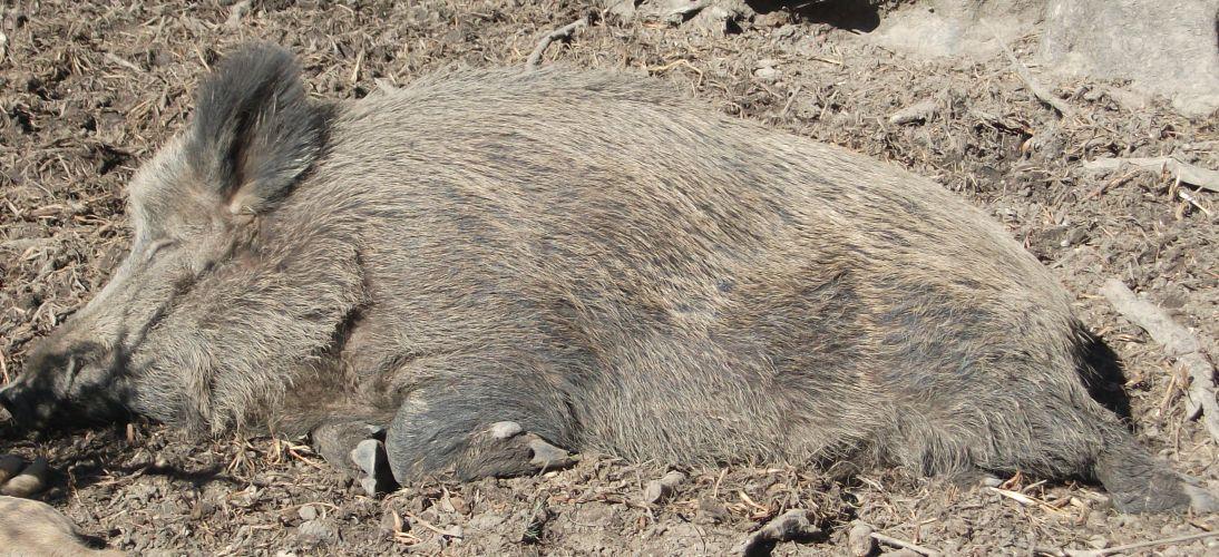 Mitteleuropäisches Wildschwein (Bergtierpark Blindham)