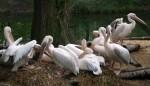 Rosapelikan (Tierpark Hellabrunn)