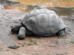 Aldabra-Schildkröte (Tierpark Hellabrunn)