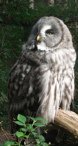 Bartkauz (Weltvogelpark Walsrode)