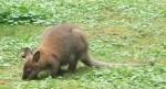 Bennettkänguru (Tierpark Haag)