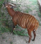 Bongo (Zoo Frankfurt)