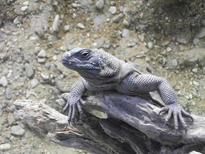 Stacheliger Riesenchuckwalla (Tiergarten Straubing)