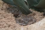 Coloradokröte (Zoo Frankfurt)