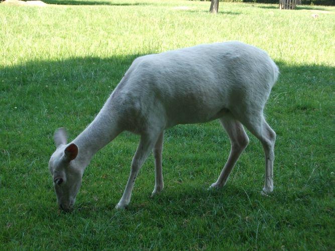 Europäischer Damhirsch, weiß (Wildpark Ortenburg)