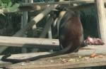 Roloway-Meerkatze (Tierpark Hellabrunn)
