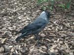 Dohle (Vogelpark Irgenöd)