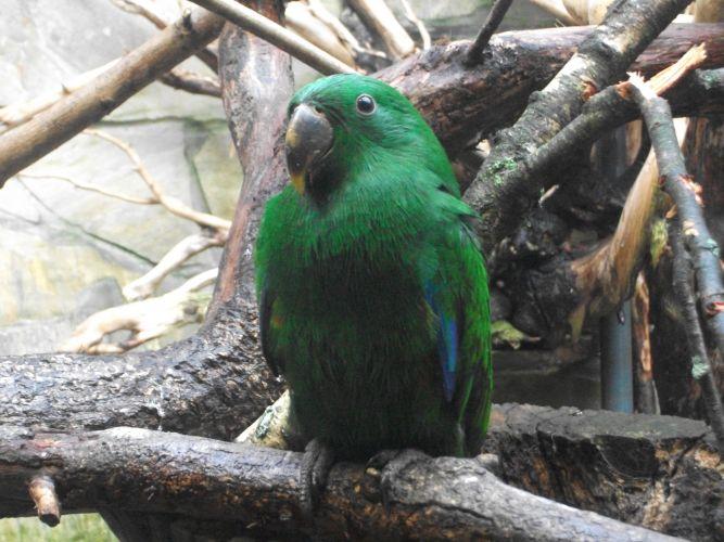 Edelpapagei (Zoo Augsburg)