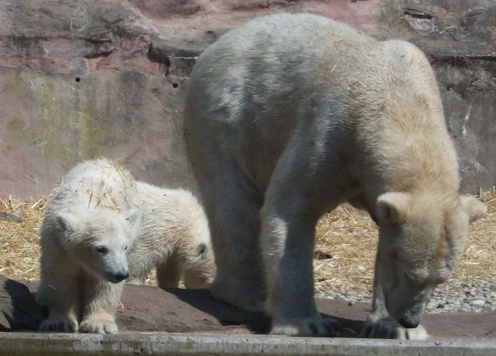 Eisbär (Tiergarten Nürnberg)