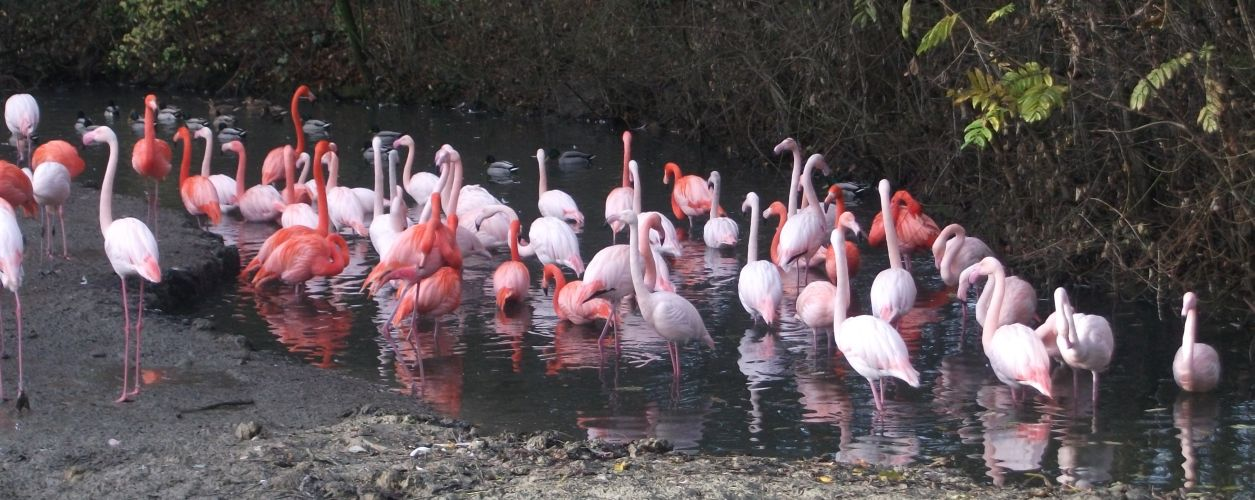 Flamingos (Tierpark Hellabrunn)