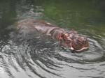 Flusspferd (Erlebniszoo Hannover)