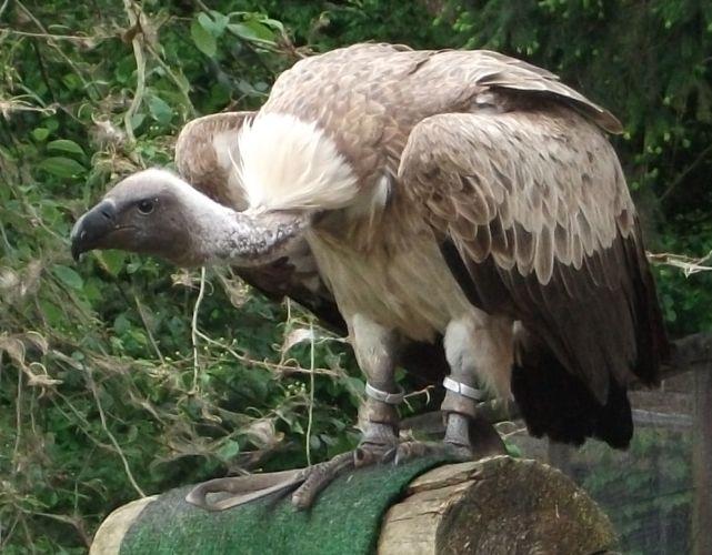 Gänsegeier (Vogelpark Abensberg)