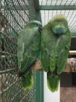 Gelbflügelblaustirnamazone (Vogelpark Irgenöd)
