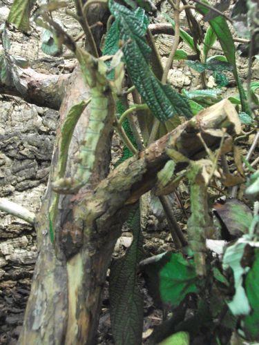 Gespenstschrecke (Zoo Augsburg)