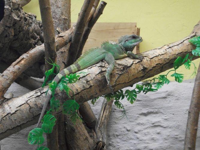 Grüne Wasseragame (Tiergarten Ulm)