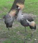 Grauhalskronenkranich (Tierpark Hellabrunn)