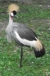 Grauhalskronenkranich (Weltvogelpark Walsrode)